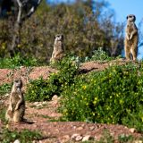 Meerkat Safari Experience